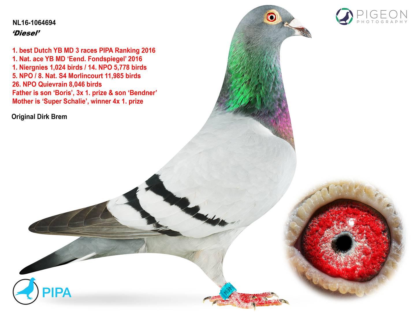 荷兰16年幼鸽冠军迪赛尔