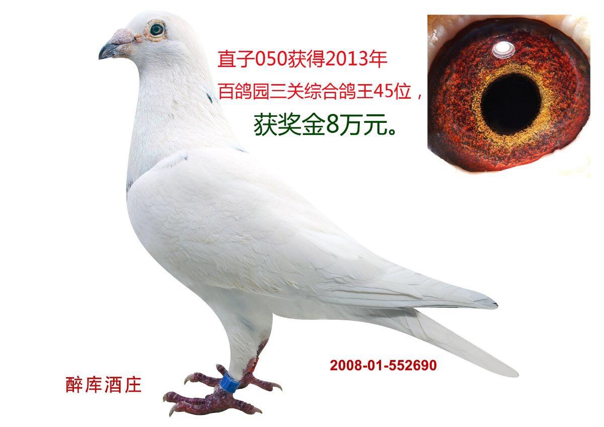 考夫曼白鸽王698之子