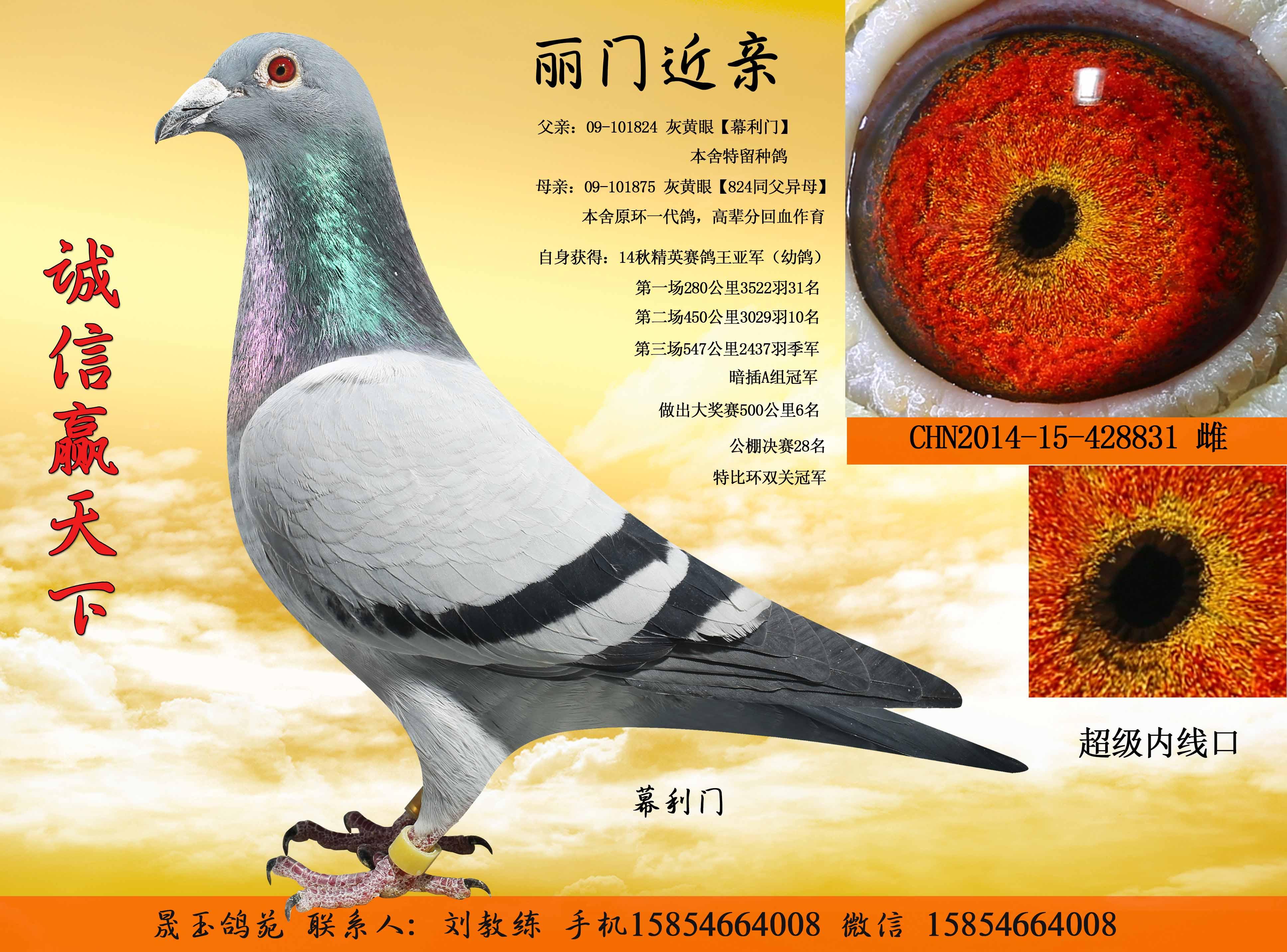 退役种鸽,特价出售