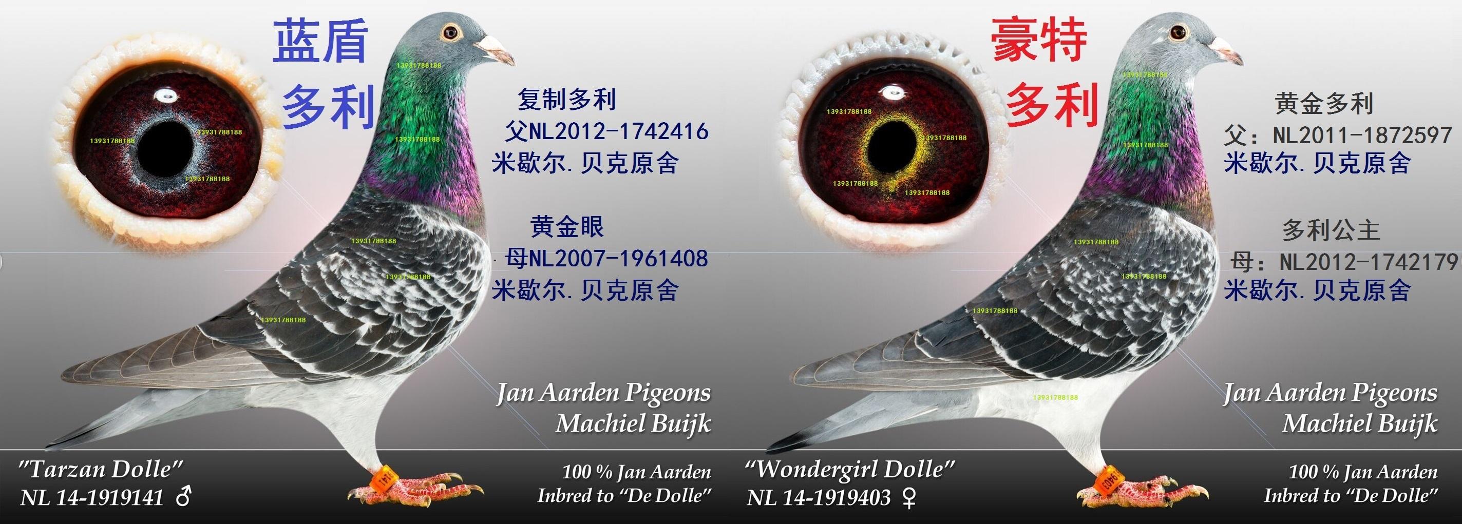 杨阿腾《幼鸽预定2000元一对》