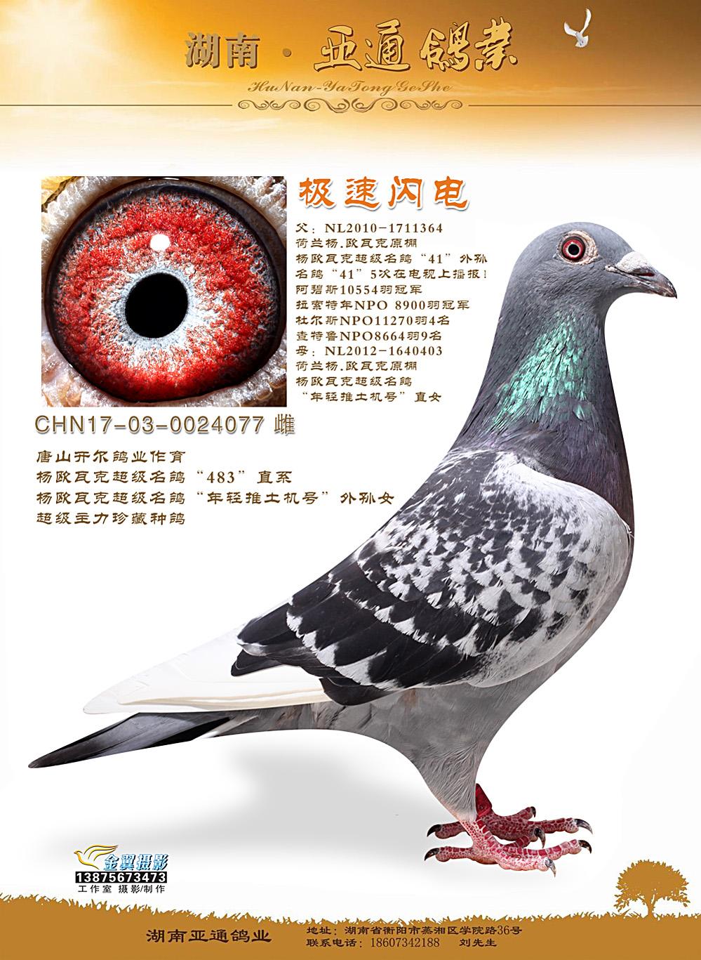 """杨欧瓦克超级名鸽""""年轻推土机号""""外孙女"""