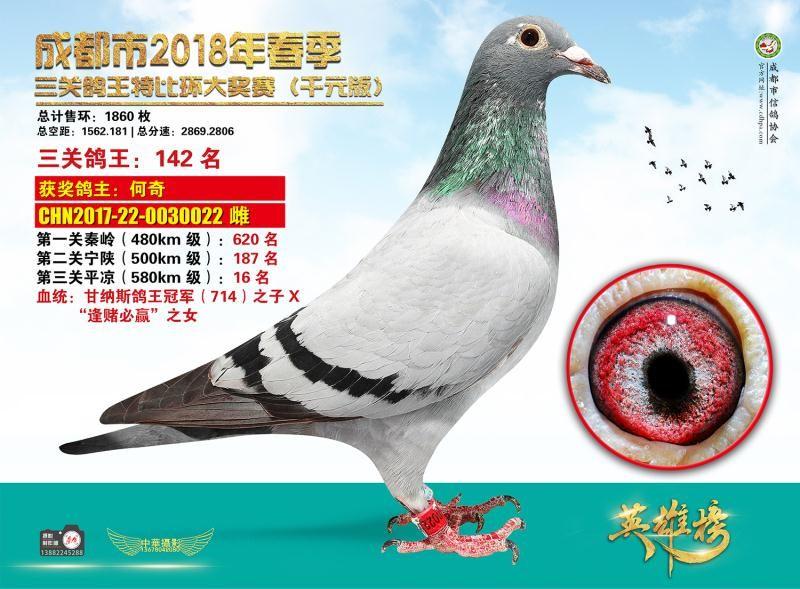 千元版特比/三关鸽王142