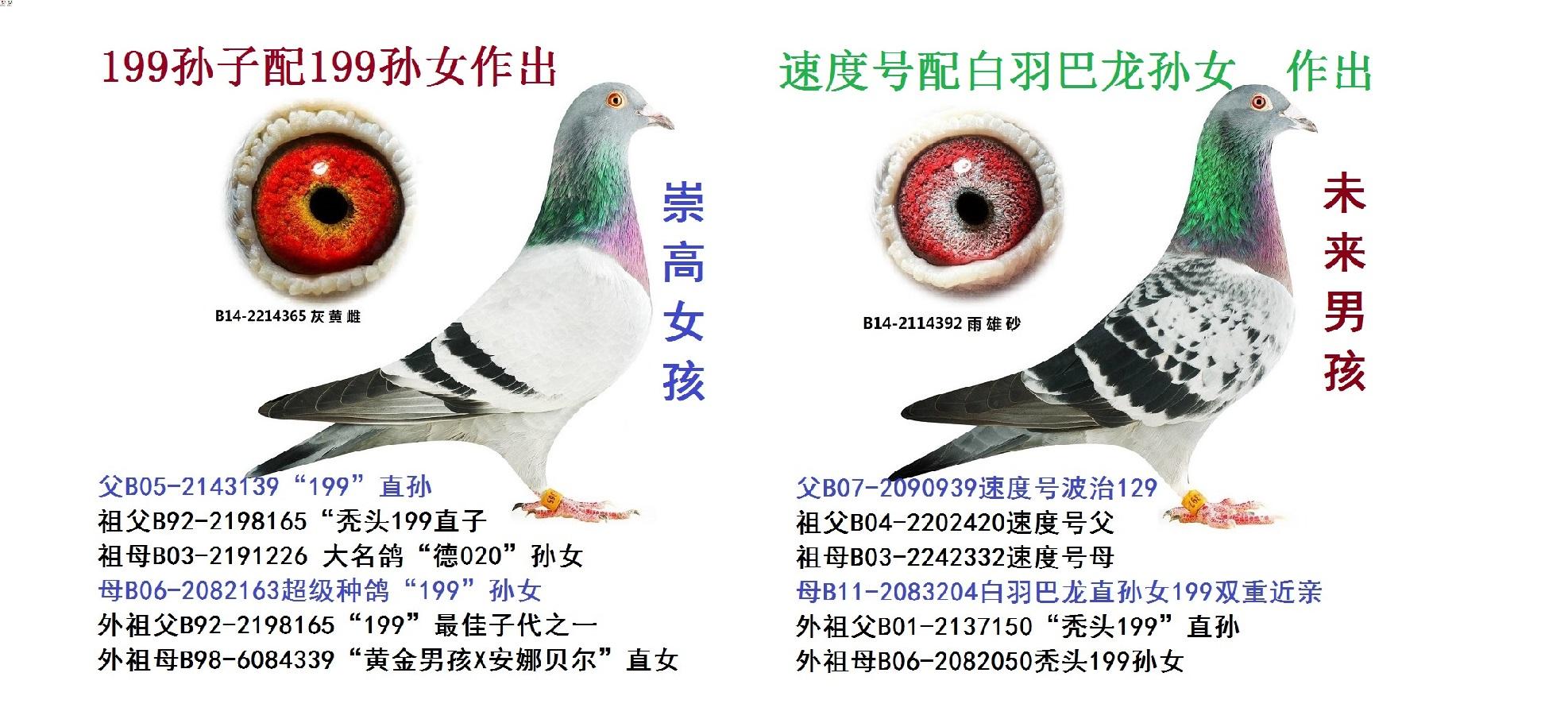 戈马利★速度号直子★幼鸽2000元一只