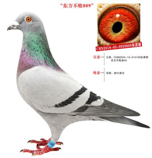 东方不败809已售北京鸽友