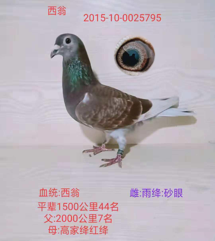 日本西翁信鸽图片