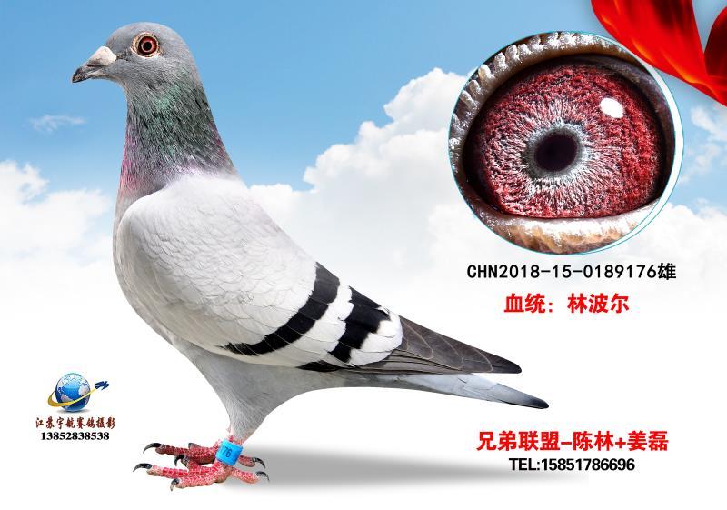 林波尔_兄弟联盟鸽舍_ag188.com爱鸽商城_中国信鸽