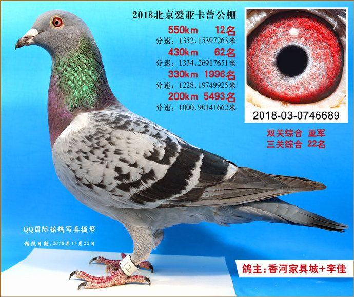 18年北京爱亚卡普决赛12名双关鸽王亚军
