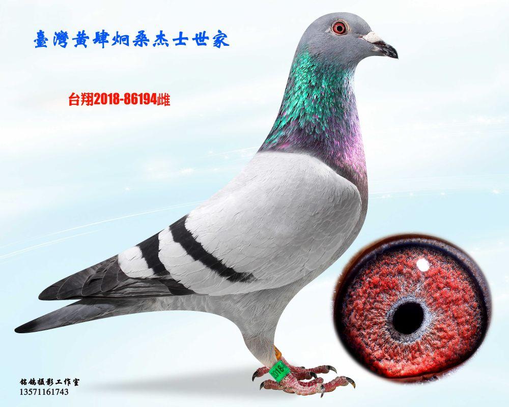 种鸽194