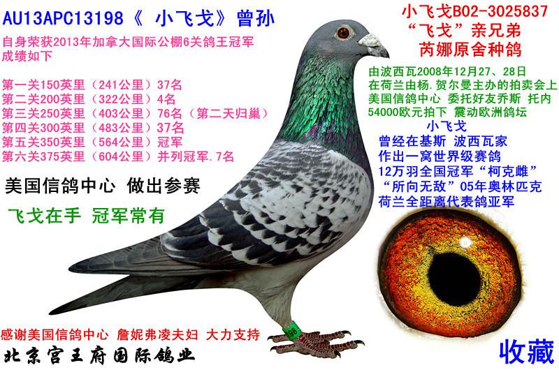 198 小飞戈 六关鸽王冠军