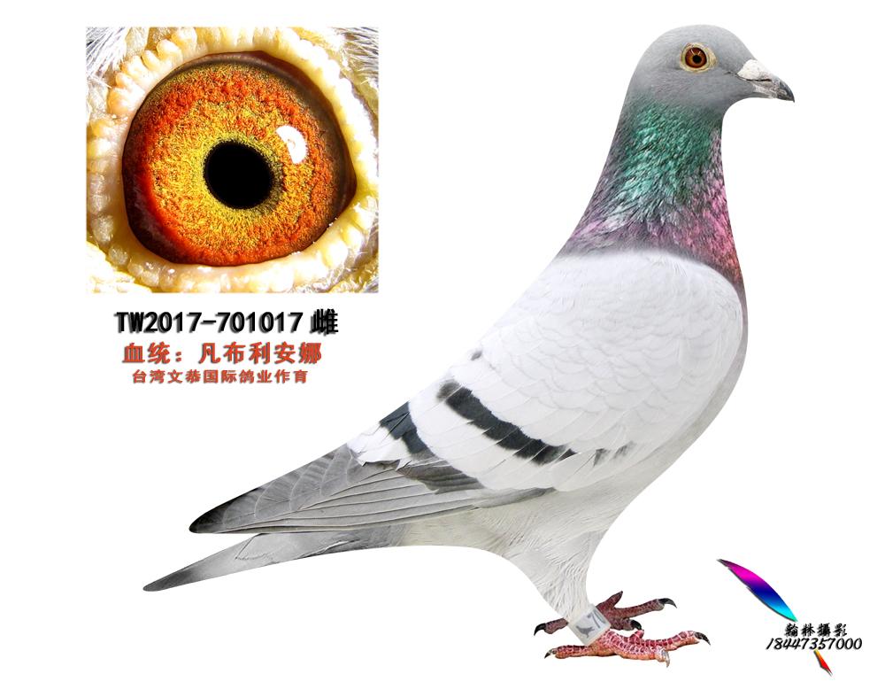 TW2017-701017雌