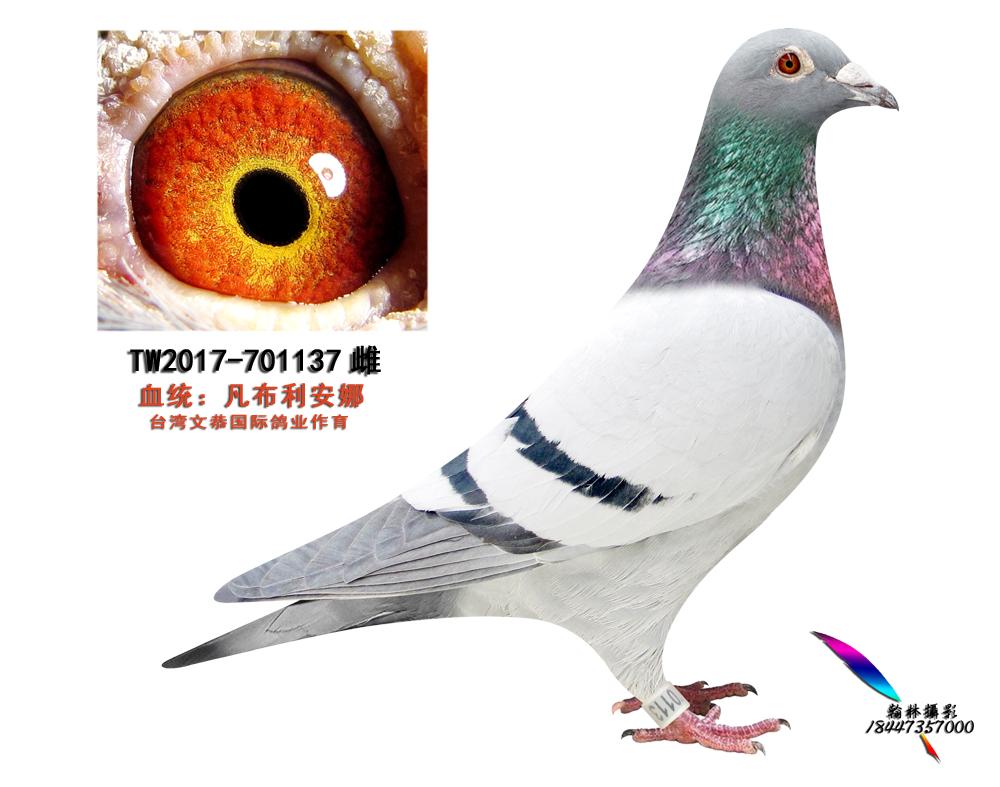 TW2017-701137雌