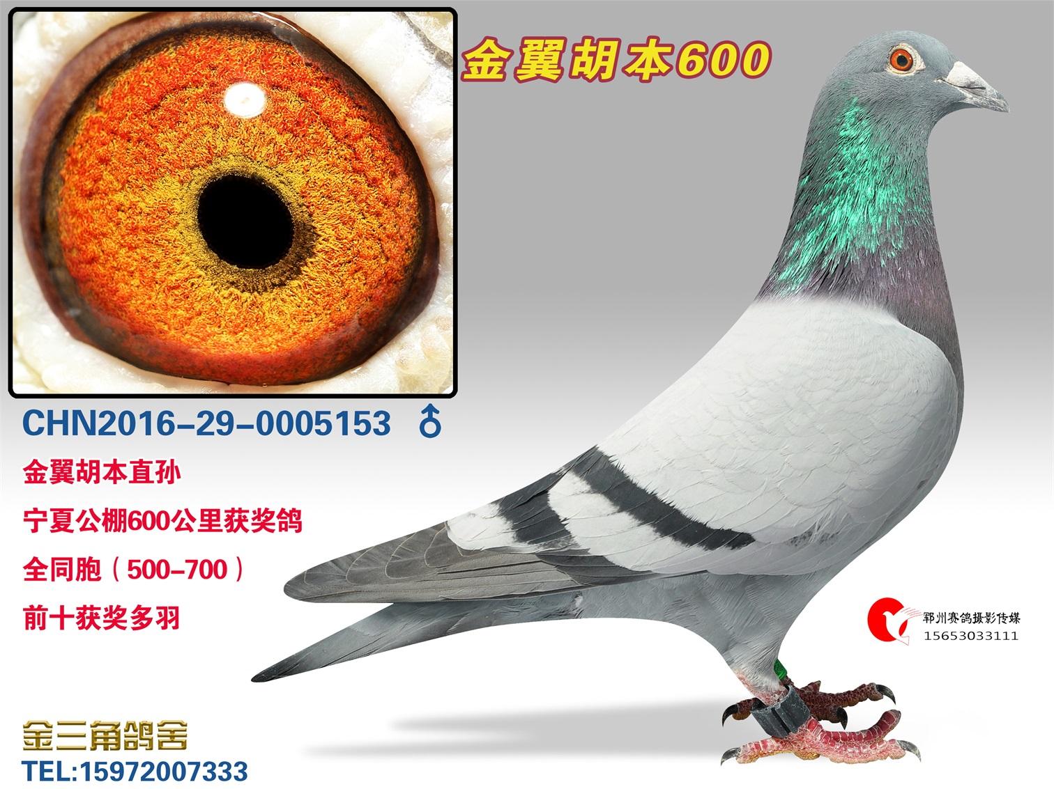 金翼胡本600