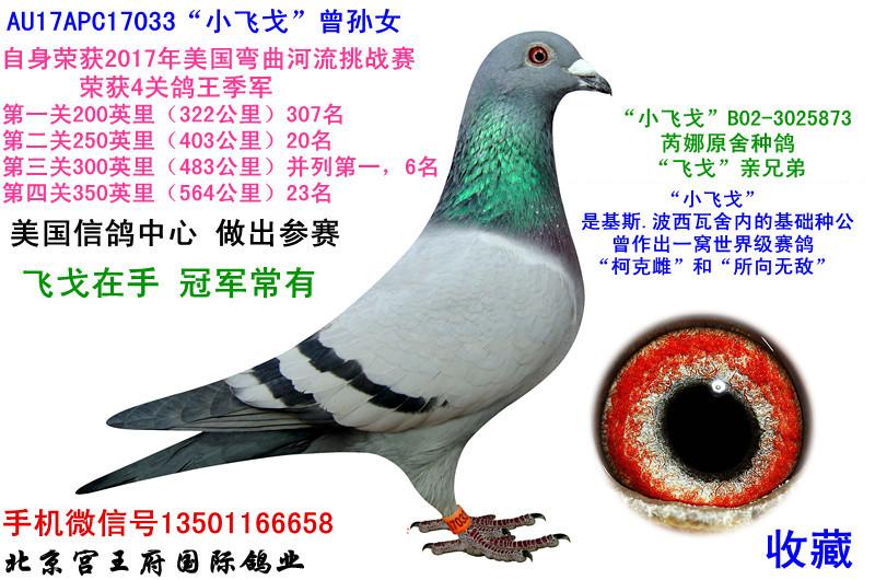 """""""小飞戈""""033四关鸽王季军"""