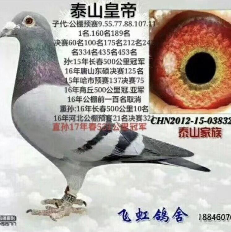 泰山号家族【泰山皇帝】作出众多获奖鸽