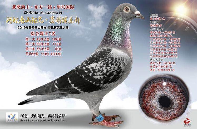 2019唐山阳光春赛综合鸽王7名