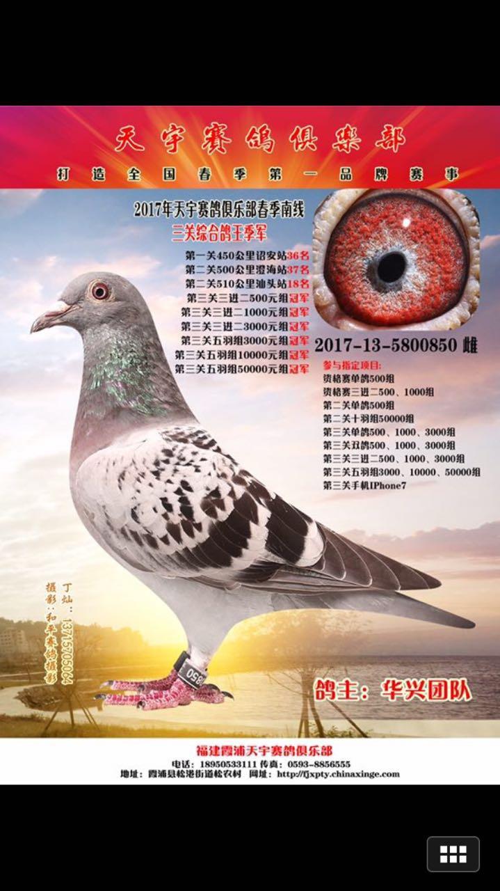 2017春季霞浦天宇三关鸽王季军