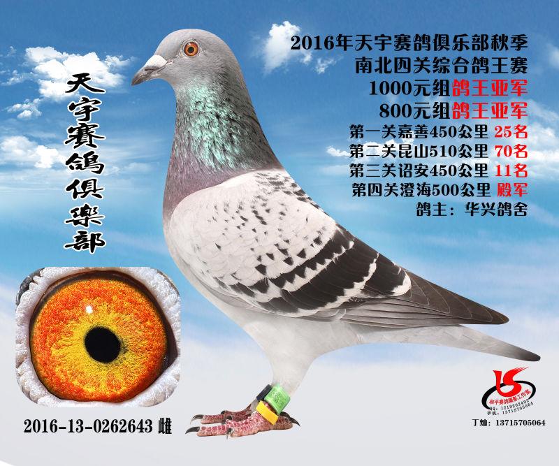2016秋季霞浦天宇南北四关鸽王亚军