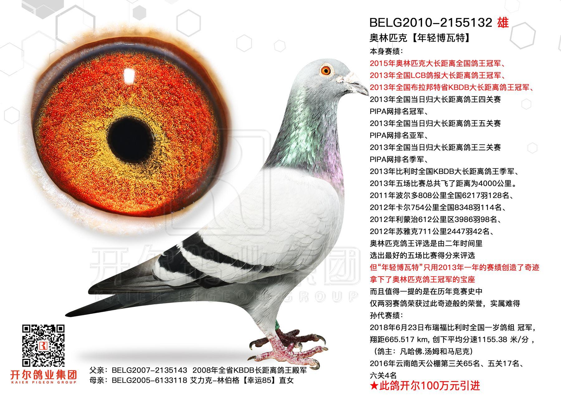 【年轻博瓦特】:奥林匹克大长距鸽王冠军!