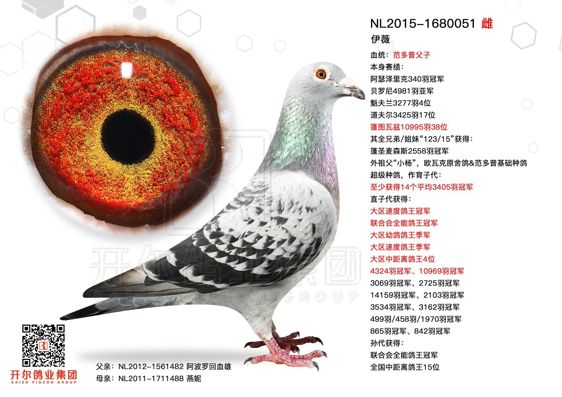【伊薇】贝罗尼4981羽亚军