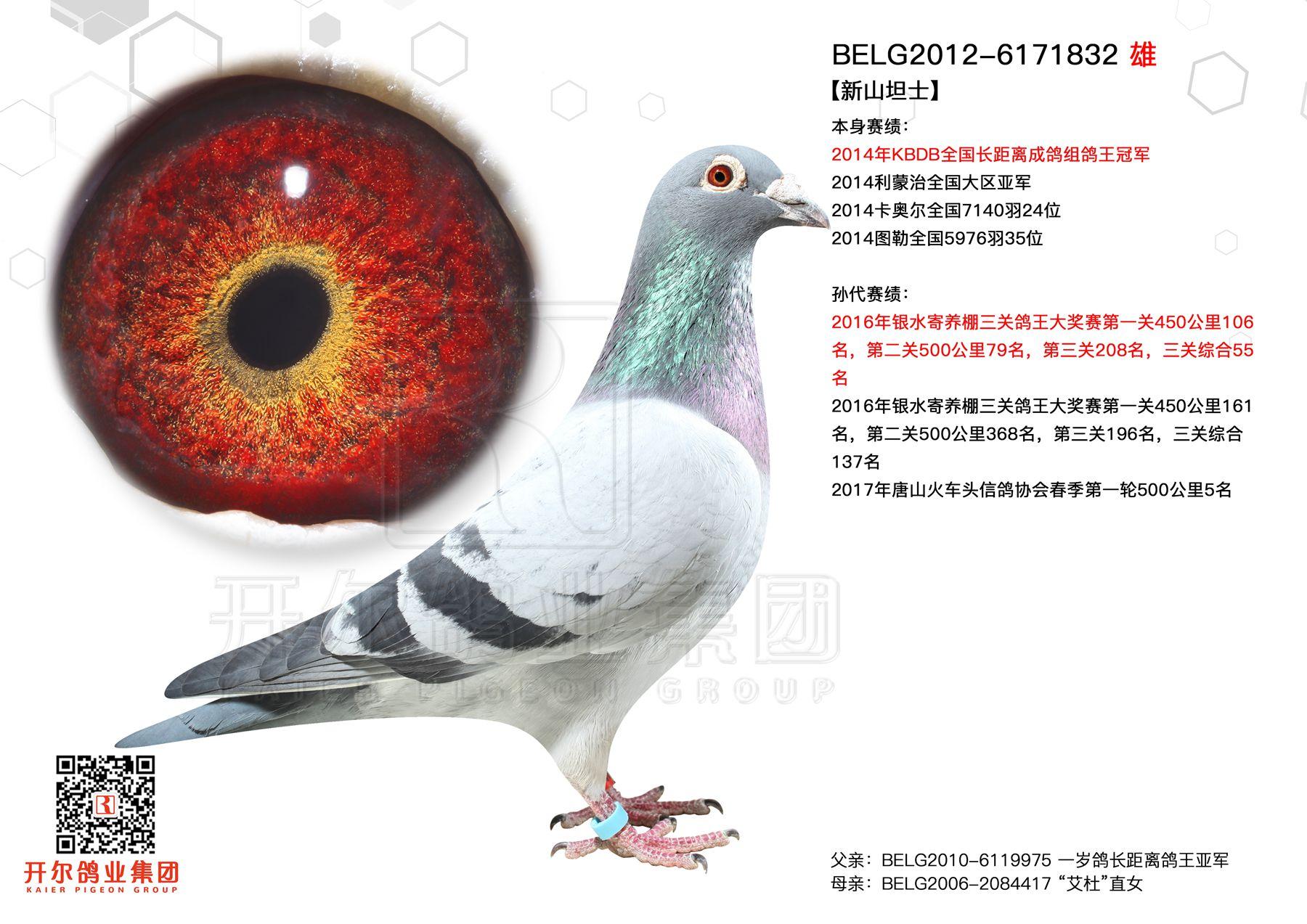 【新山坦士】:14年KBDB长距鸽王冠军