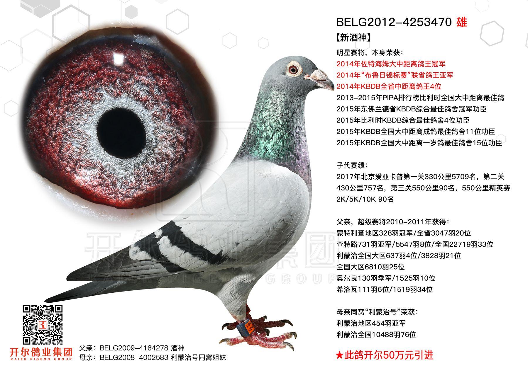 【新酒神】2014年大中距离鸽王冠军