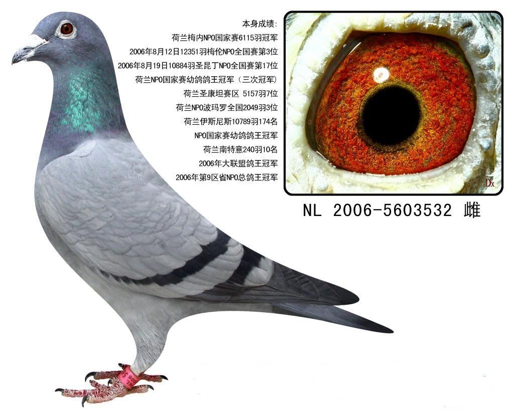 荷兰NPO鸽王冠军