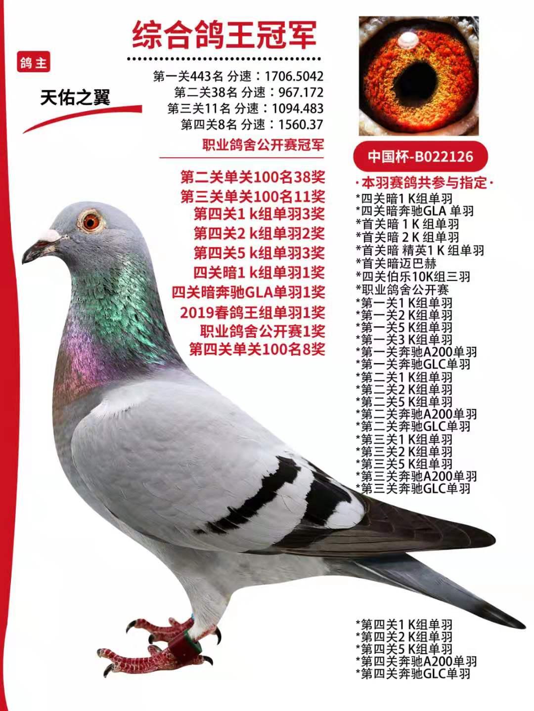 天津开创鸽王总冠军