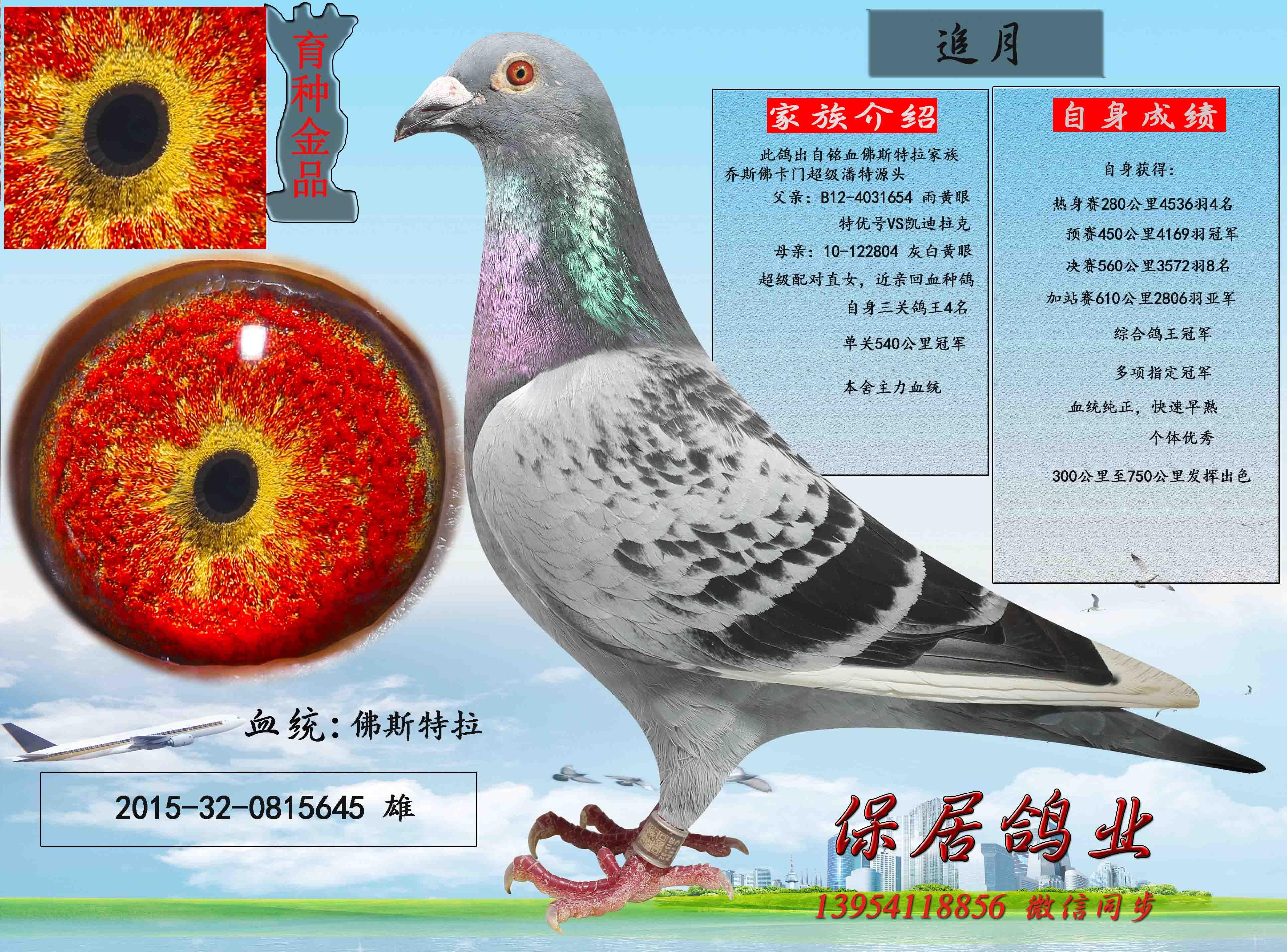 鸽舍拆迁,低价出售种鸽