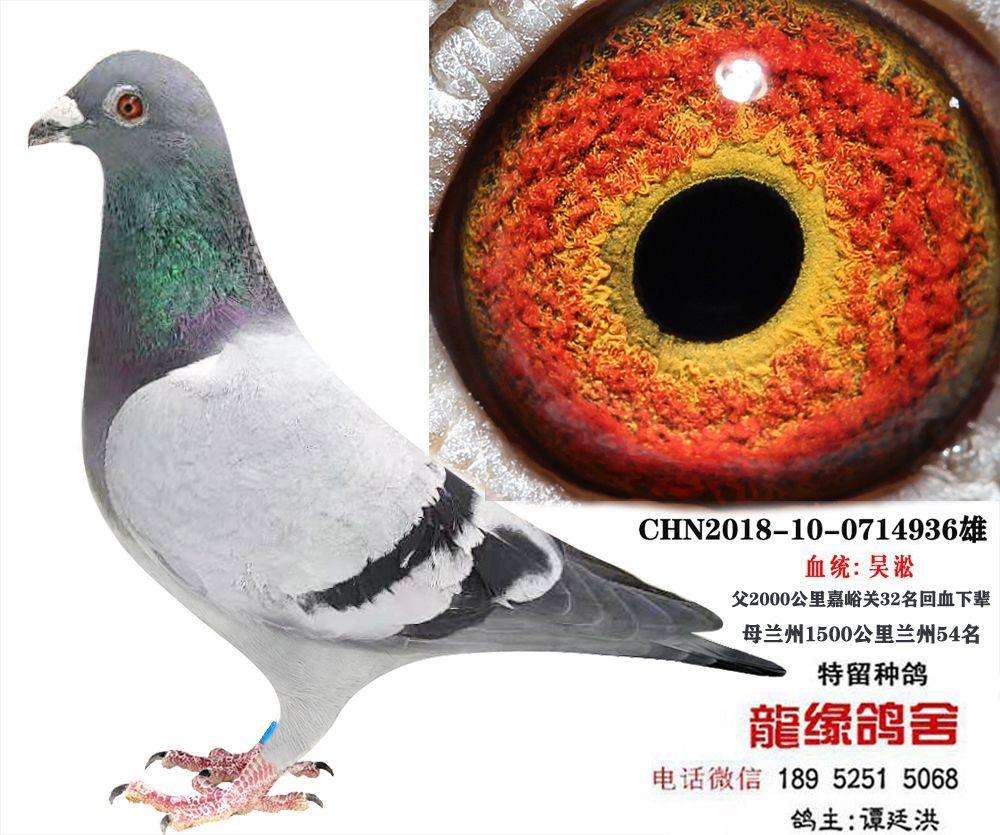 吴淞种鸽4
