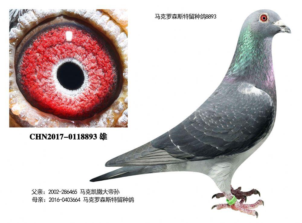 马克特留种鸽8893