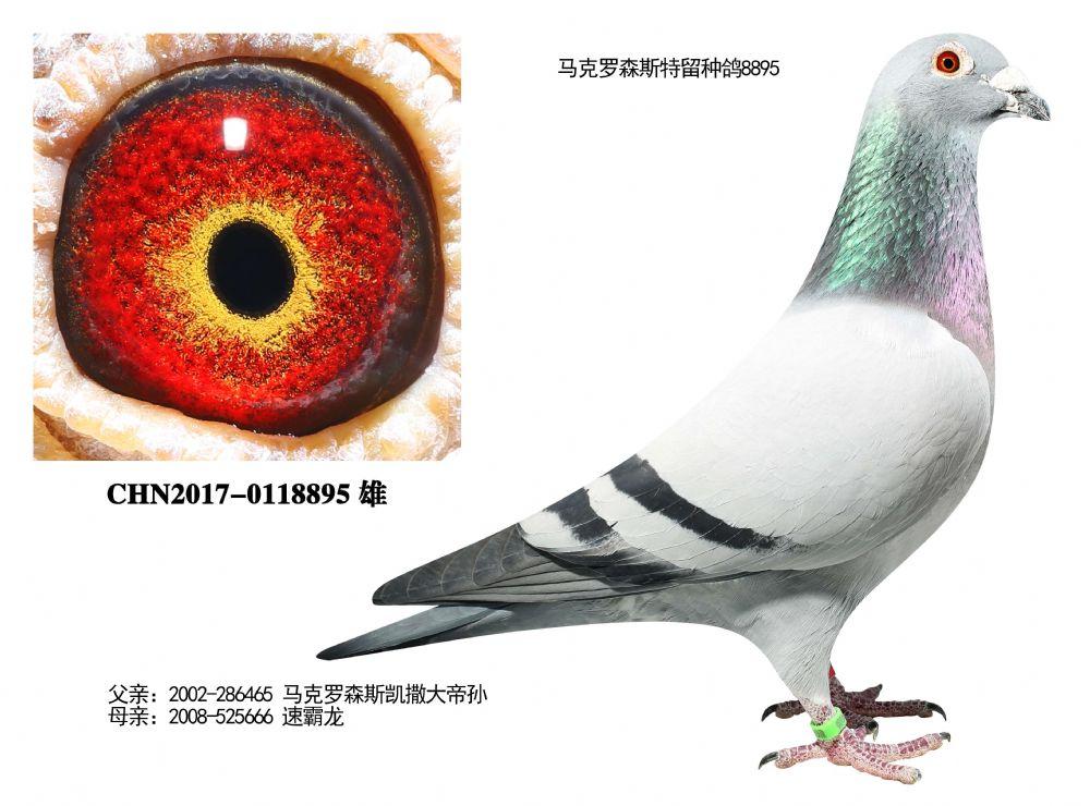 马克特留种鸽8895