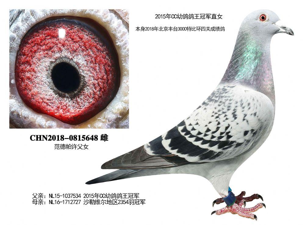 2015年CC幼鸽鸽王冠军直女