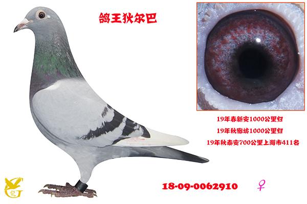 鸽王狄尔巴・0062910
