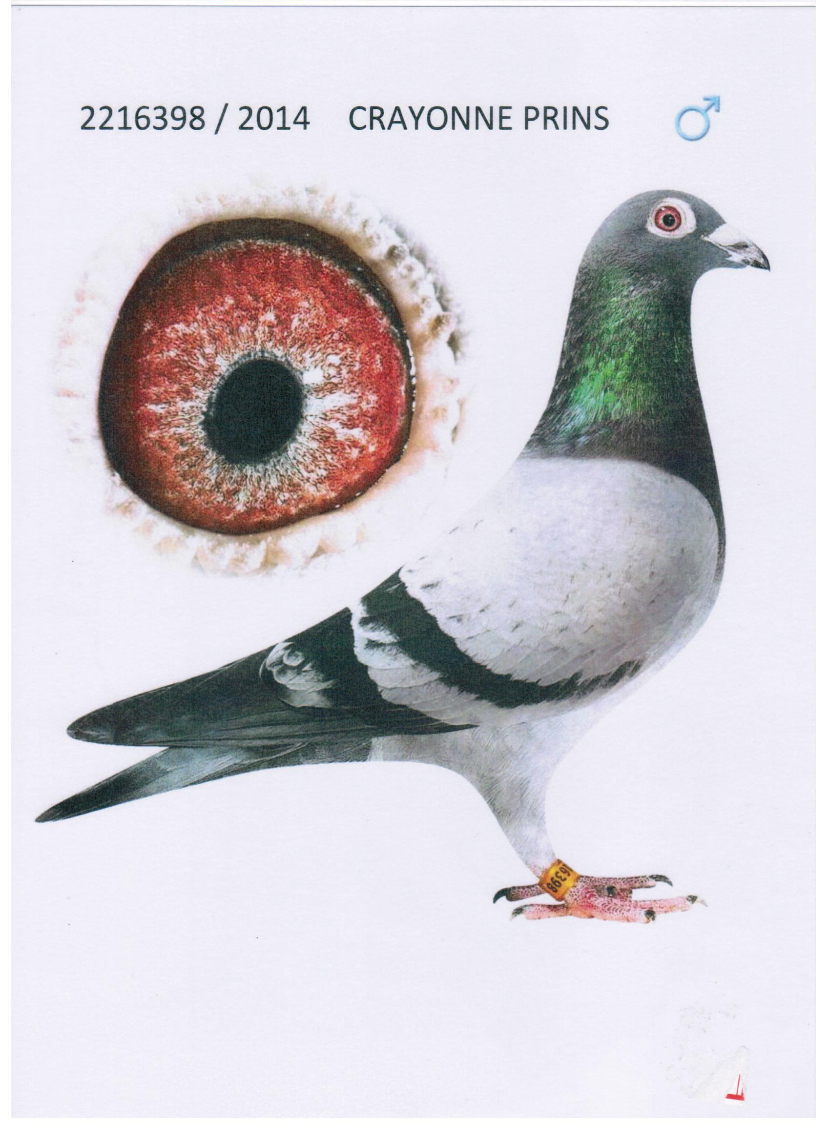 戈马利毛脚种鸽图片
