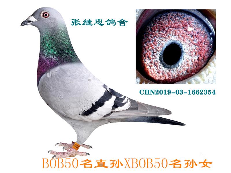 BOB50名直孙×孙女1662354