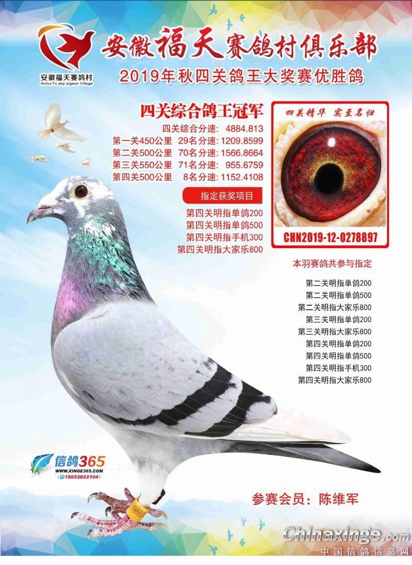 福天赛鸽村四关综合鸽王冠军