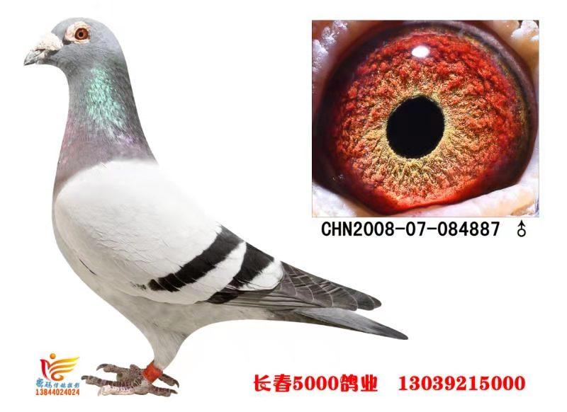芬妮卡5000 直孙 (绝版种鸽)