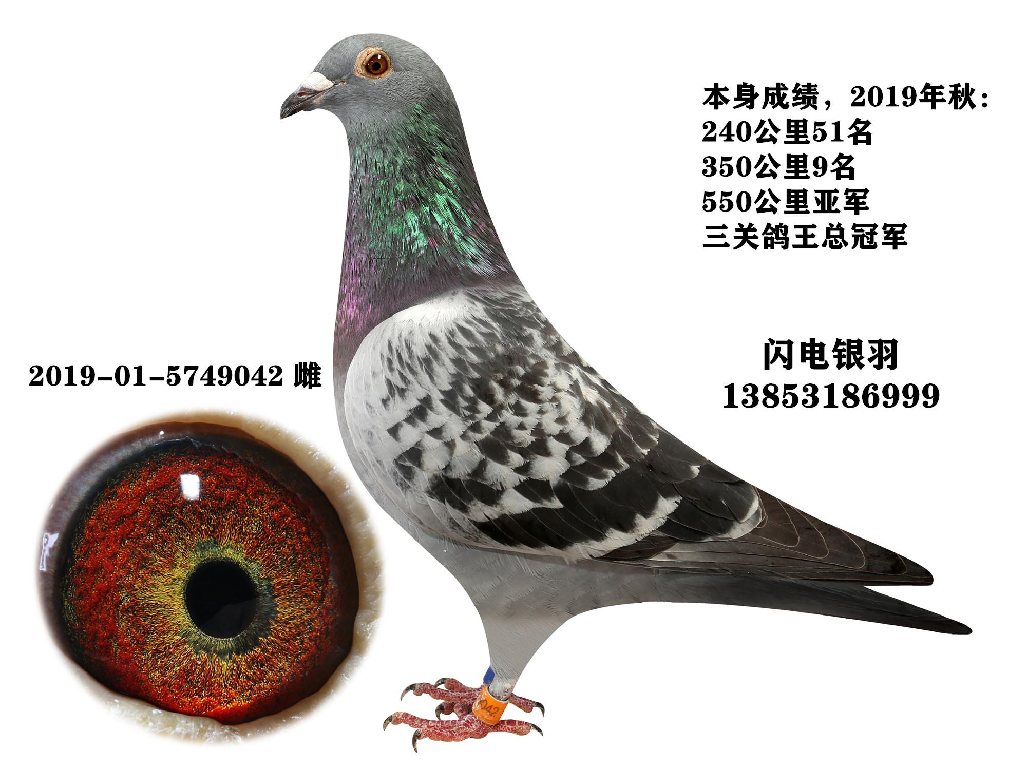 三关鸽王冠军(240、350、550)