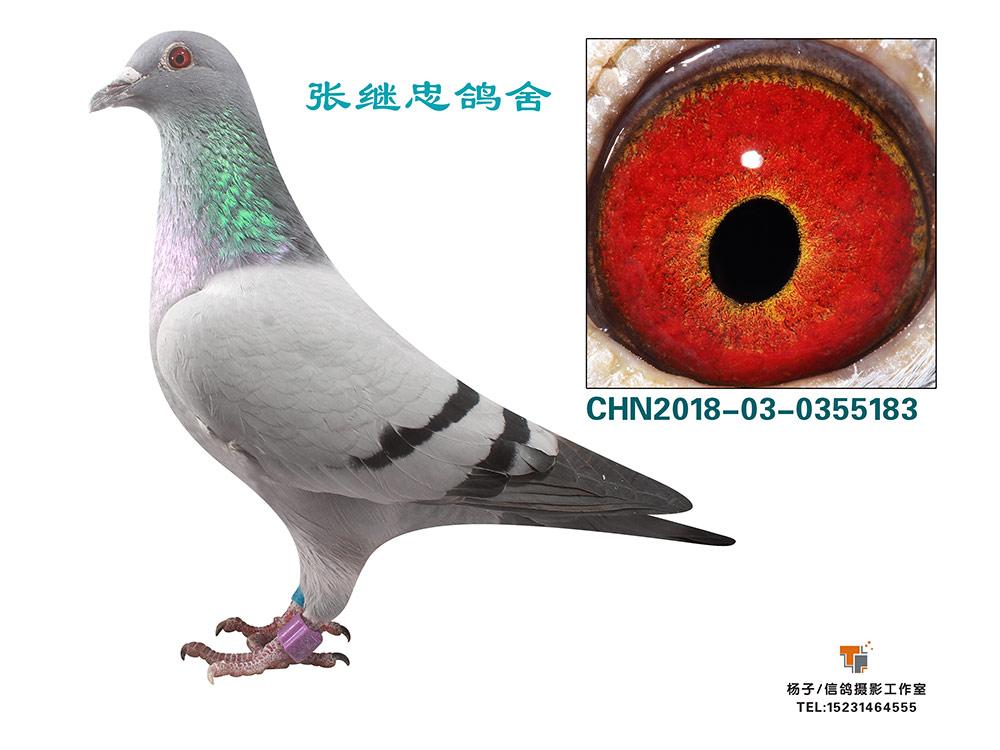 鸽会冠军0355183