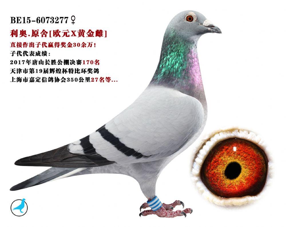 利奥原舍种鸽/欧元X黄金雌直孙女
