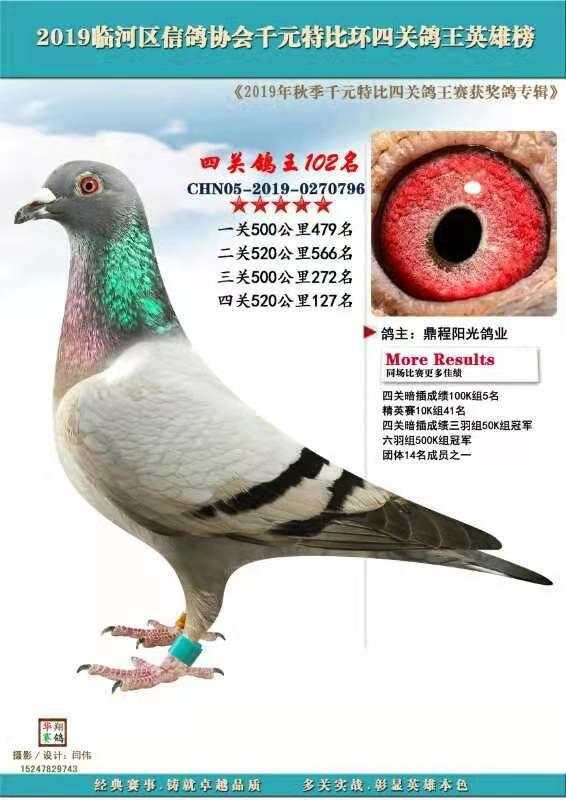 四关鸽王796