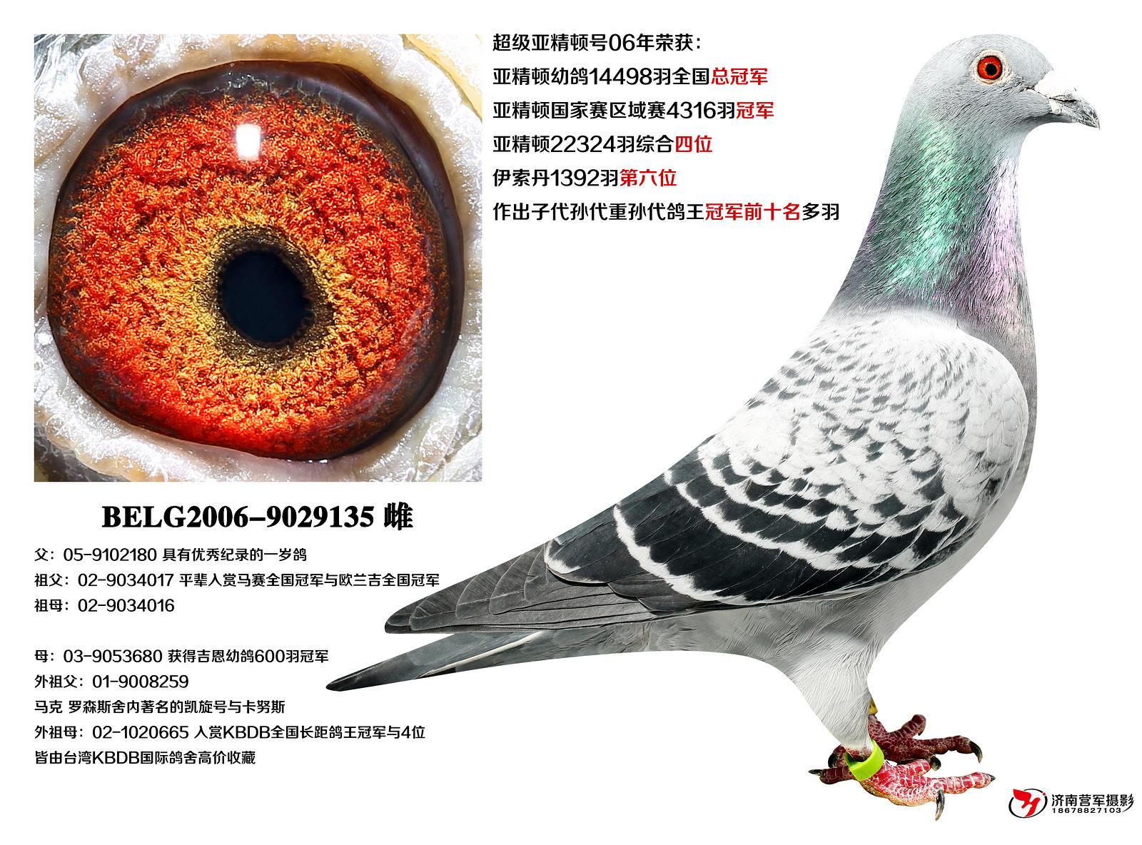 亚精顿幼鸽14498羽全国总冠军
