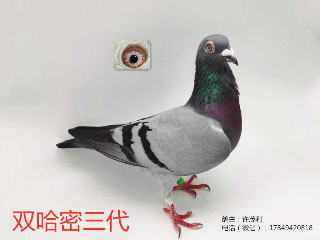 国血超远程吴淞14年扬州哈密纯血直系三代