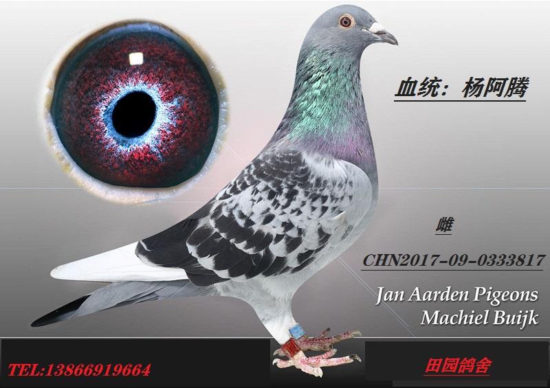 杨阿腾817