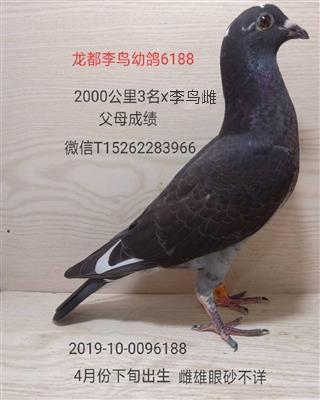 龙都李鸟幼鸽6188