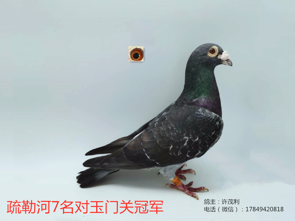 国血超远程李鸟疏勒河玉门冠军子代稀少种鸽