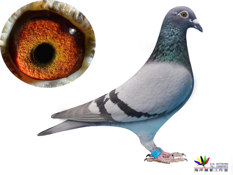 维姆特洛伊比利时鸽王