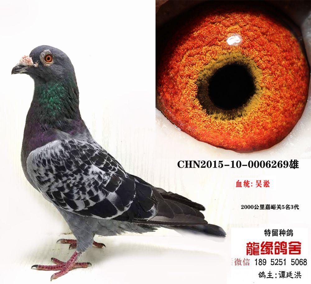 吴淞种鸽02