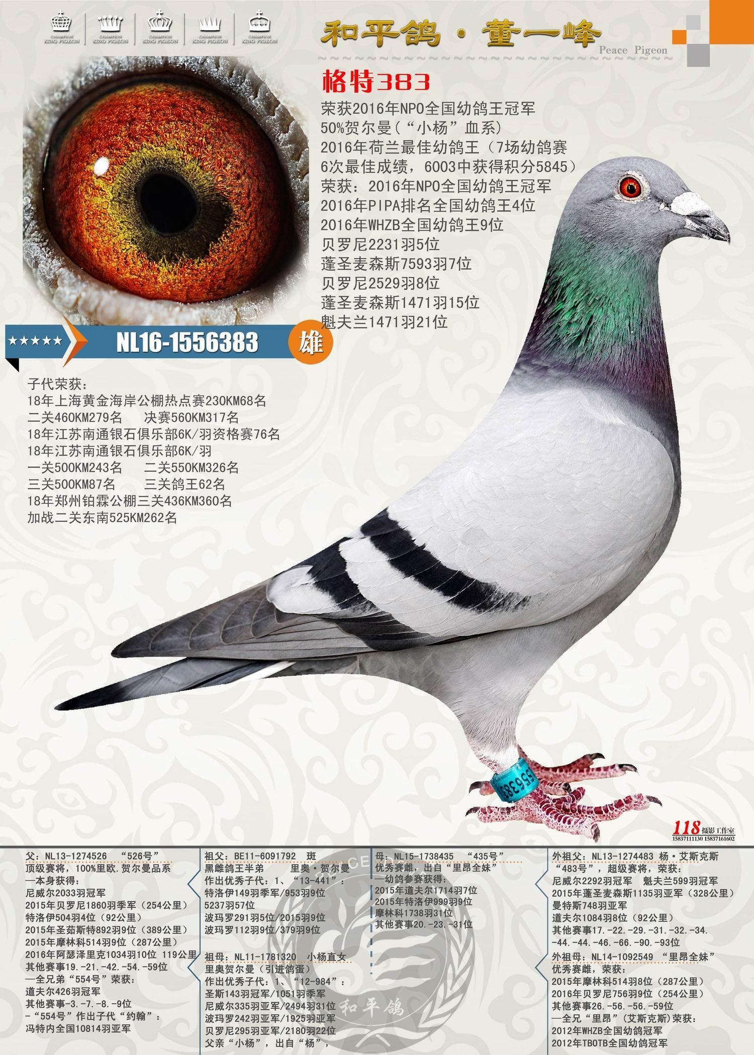 格特383(NPO全国幼鸽王冠军)