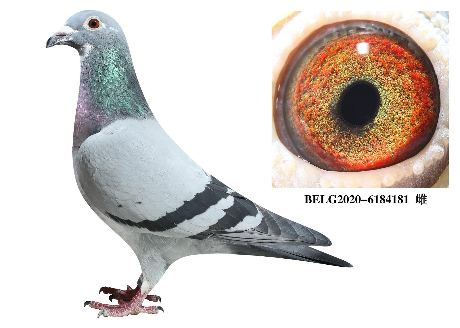 比利时-【斯密茨】-原舍种鸽181